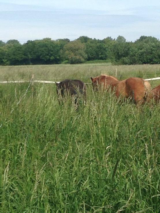 Vor lauter Gras sieht man die Ponys kaum