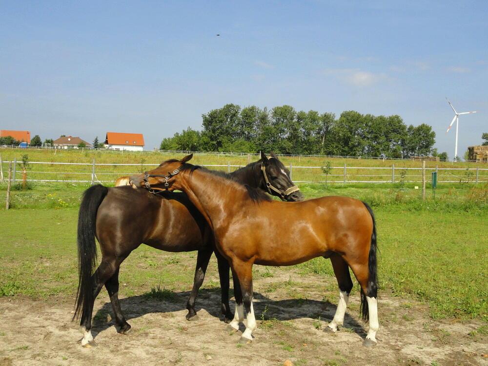 2 der Pferde auf der Koppel