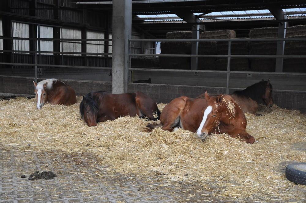 in der Herde fühlen sich die Pferde  sicher