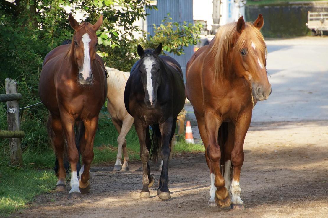 Boxenpferde auf Weg zur Weide