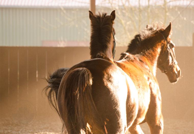 Reithalle, frei laufen, Trackehner, Wallach, Brauner, Sir Philip, Ostwind, Pferde, Pferd, Lieblingspferd, Seelenpferd, Leben mit Pferden, Sturm, stürmischer Tag