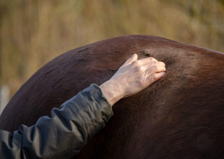 Tellington Massage Pferde Pferdemassage Muskellockerung Pferde