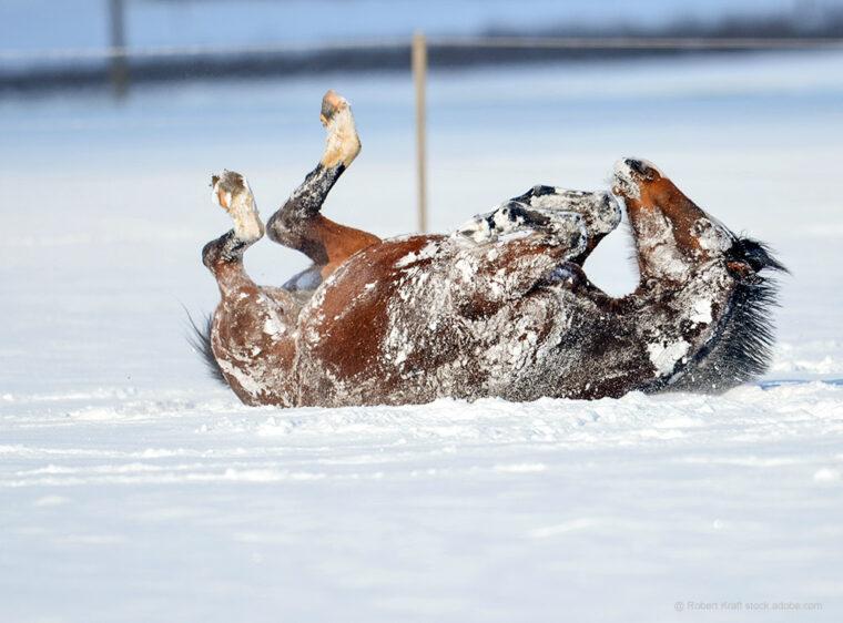 Pferde wälzt sich im Schnee