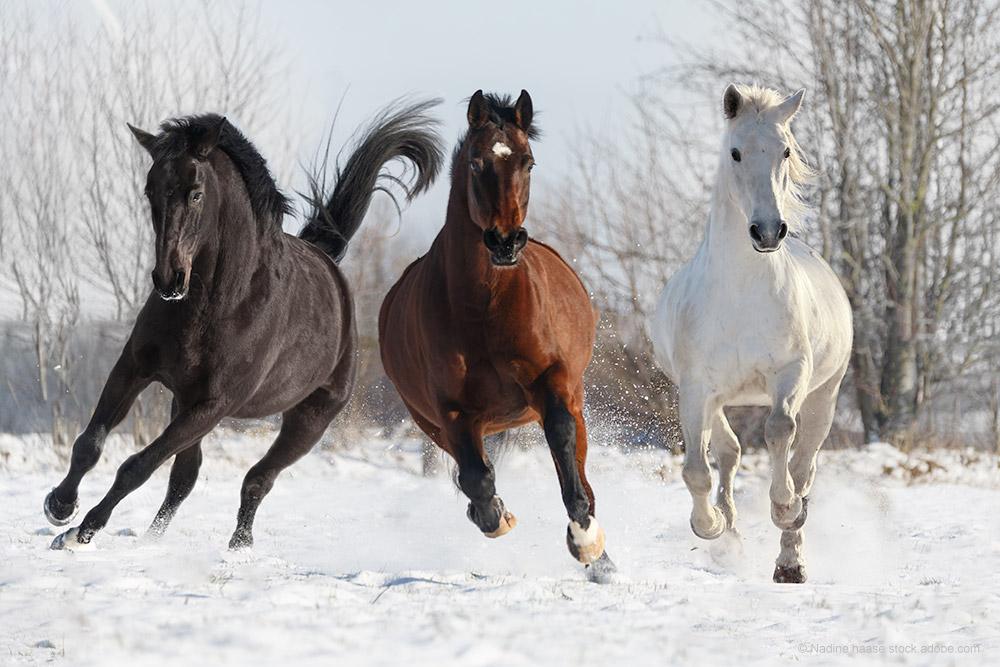 Rappe, Fuchs und Schimmel auf einer Schnee bedecken Weide