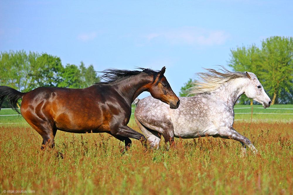braunes Pferd und Schimmel galoppieren über Weide