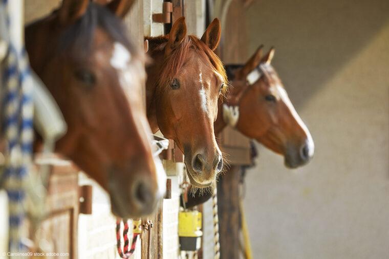 drei Pferde schauen aus Pferdeboxen
