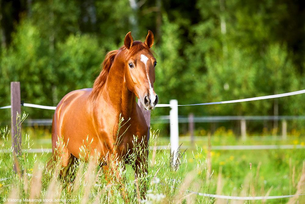 Pferd läuft auf Weide mit Elektrozaun
