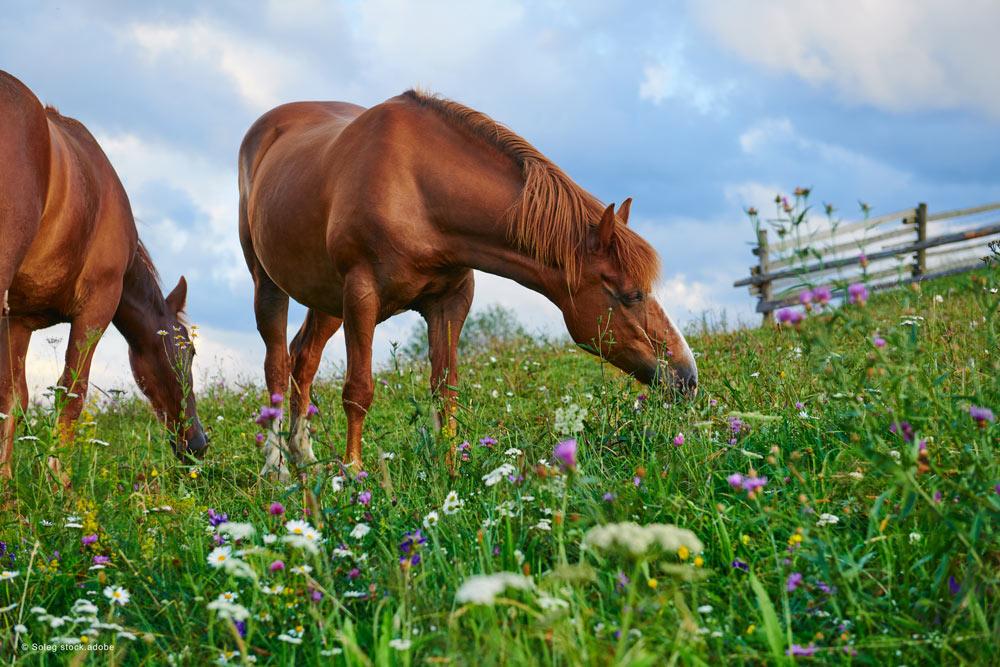 pferde auf Weide mit blumen