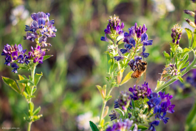 Luzerne mit Biene