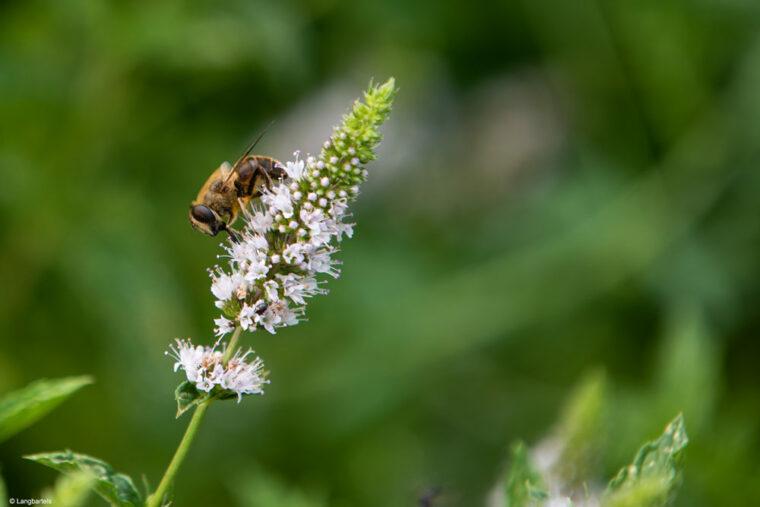 Biene an einer Salbeiblüte