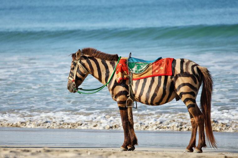 Pferde mit aufgemalten Zebrastreifen am Strand