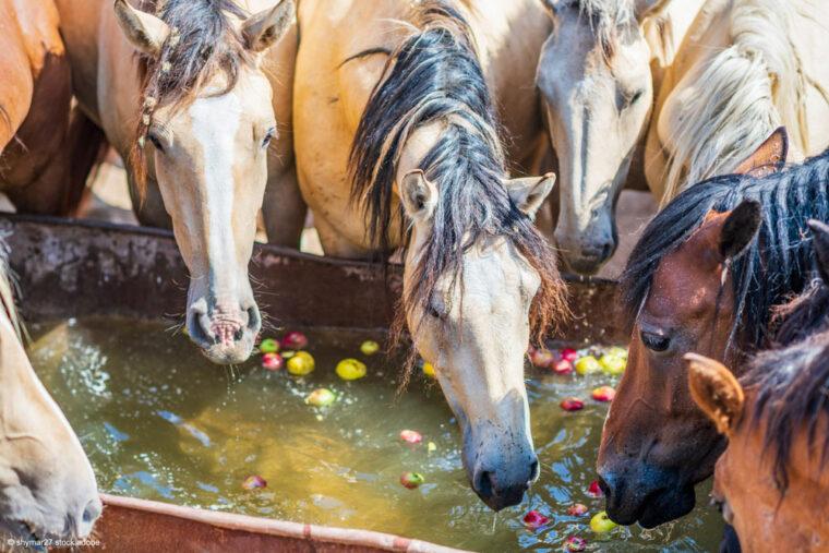 Tränke mit Wasser und Äpfeln und Pferden