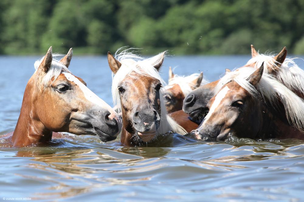 Pferde im Wasser baden im See
