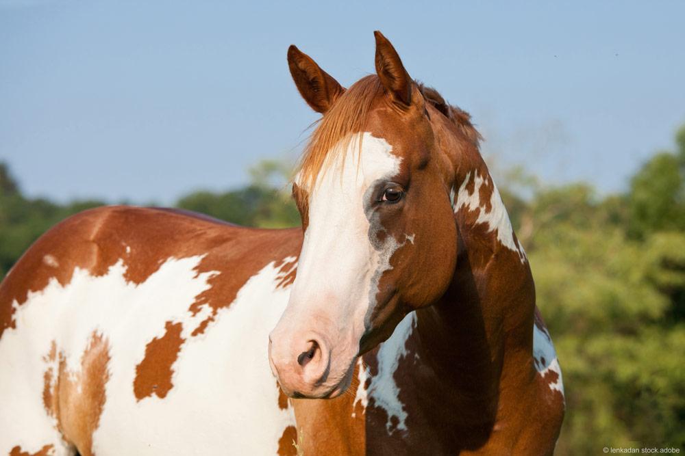 Pferde mit weißen Flecken und rosa Haut