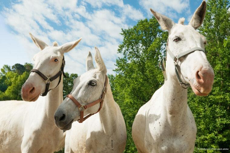 weiße Pferde anfällig für Sonnenbrand