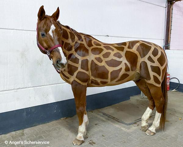 Pferde mit Schermuster wie Giraffe