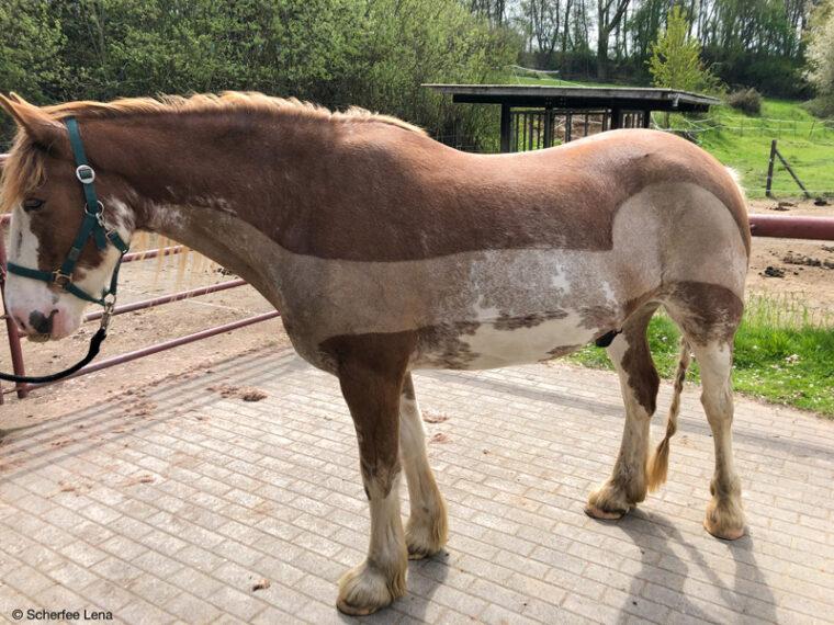 gelassenes und ruhiges Pferd beim Scheren