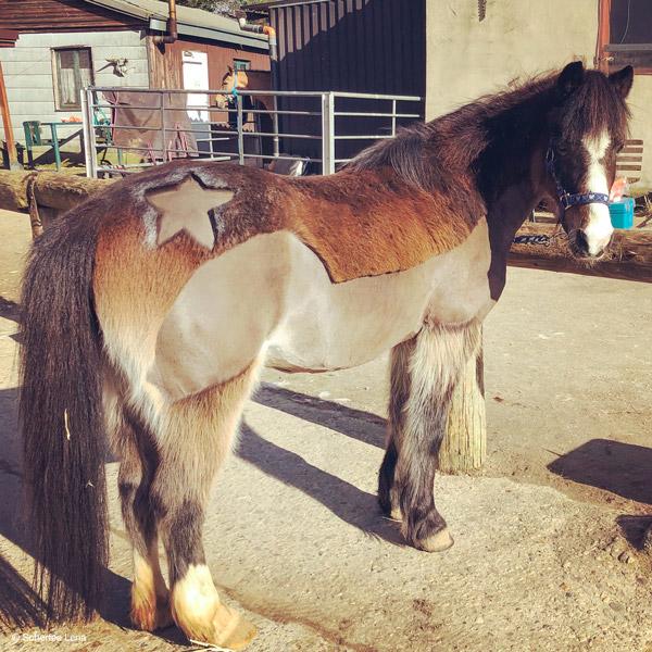 Pony mit Trace-Schur und Stern von Scherfee Lena